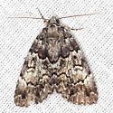 Underwing Moth - Allotria elonympha