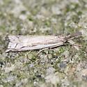 Moth - Common - Lateral - Crambus