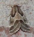 Ragweed Flower Moth ? - Schinia rivulosa