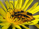Colorado Soldier Beetle - Chauliognathus basalis - male - female