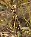 Which Darner Please - Aeshna constricta