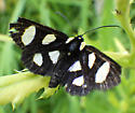 Noctuidae, Eight-spotted Forester, dorsal - Alypia octomaculata