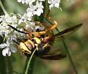 Fly [Spilomyia alcimus?] ID Request - Spilomyia alcimus