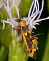 Unknown insect - Belotus