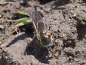 flower fly? - Cheilosia