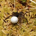 Spider - female