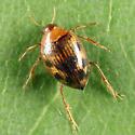 Crawling Water Beetle - Haliplus immaculicollis
