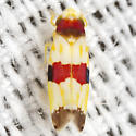 Erythroneura Leafhopper - Erythroneura diva
