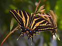 Three-Tailed Swallowtail - Papilio pilumnus - female