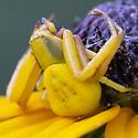 Whitebanded Crab Spider - Misumenoides formosipes