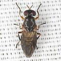 Unknown Fly - Allognosta fuscitarsis - female