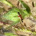 Tarplant bug - Tupiocoris - female