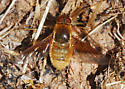 Orange County Bee Fly Archives - Paravilla fulvicoma