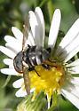 Unidentified bug 10032017 - Gymnoclytia