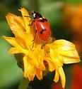 Lady Beetle - Hippodamia quinquesignata