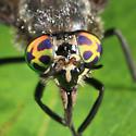 deer fly - Chrysops ater