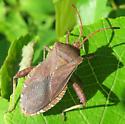 Helmeted Squash Bug - Euthochtha galeator - female