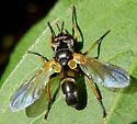 unknown fly - Hemyda aurata