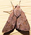 Acronicta tritona - Triton Dagger Moth - Hodges#9211 - Acronicta