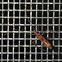 Long Yoga Bug - Paraxenetus guttulatus