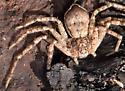 running crab spider - Philodromus praelustris - female