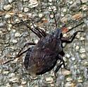 Family Pentatomidae? - Brochymena affinis