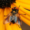 fly with metallic abdomen - Phasia aurulans - male