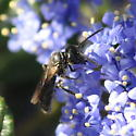 Panurgine bee? (2 of 3) - Panurginus