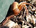 Crab Spider  - Xysticus possiblefunestus