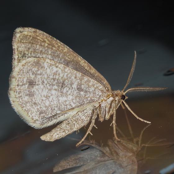 Drab Angle - Macaria evagaria
