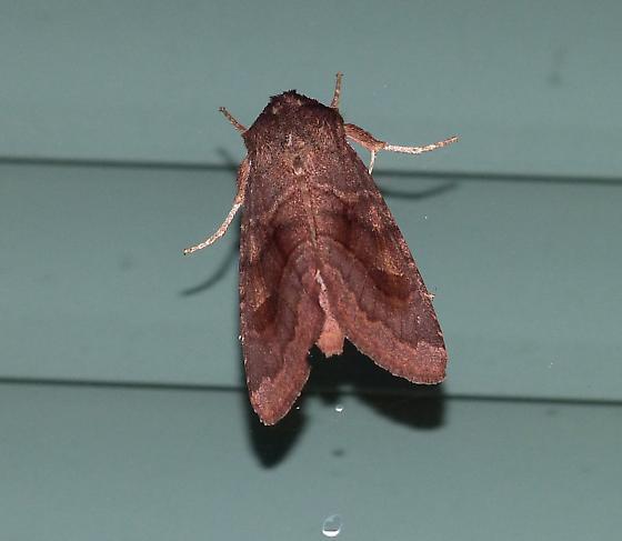 morning moth2 - Nephelodes minians