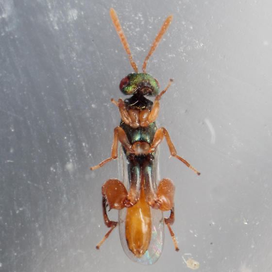 Wasp just emerged from a mantis ootheca. - Podagrion