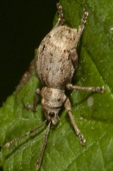 Another weevil for Vassili - Sciopithes obscurus
