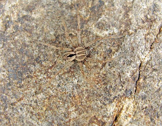 arctic spider 2 - Thanatus