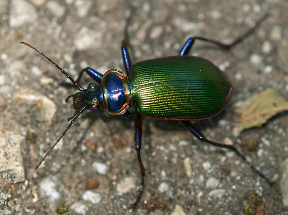 iridescent beetle - Calosoma scrutator