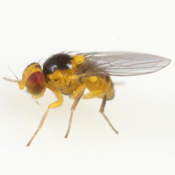 Liriomyza carphephori - male
