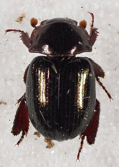 Hybosoridae Germarostes - Germarostes aphodioides