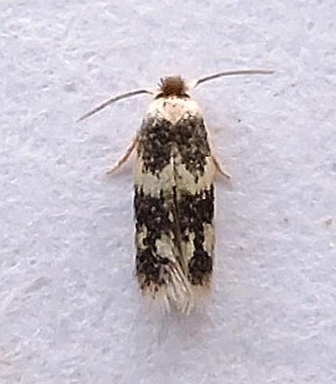 Acalyptris thoracealbella