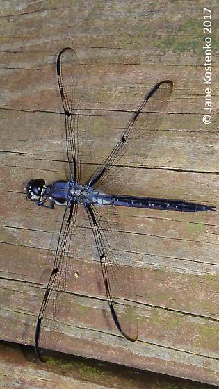 Bar-winged Skimmer (Libellula axilena)? - Libellula axilena - male
