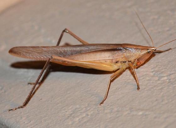 Conehead? - Neoconocephalus triops - female