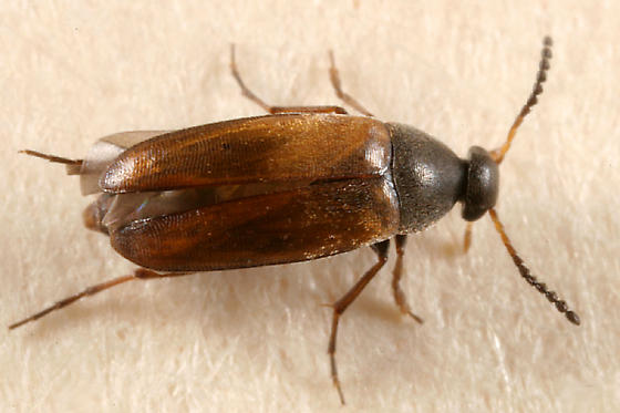 Scraptiid? - Anaspis flavipennis