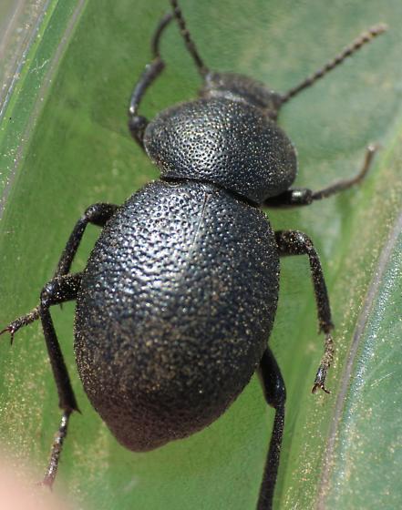 Sunrise Beetle 3 - Eleodes