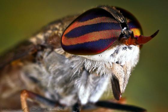 Striped Horsefly - Tabanus subsimilis - Tabanus subsimilis - female