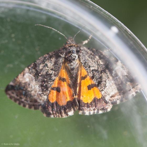 Annaphila decia from Santa Clara County, CA - Annaphila decia