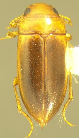 Celina occidentalis Young - Celina occidentalis - male