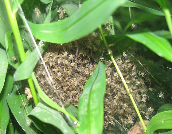 Fishing spider (Dolomedes vittatus) and nursery - Dolomedes vittatus