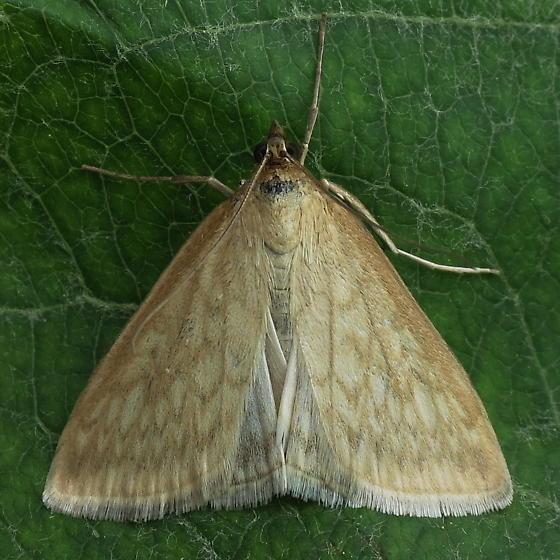 A Pyralid Moth - Sitochroa chortalis