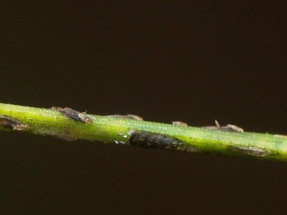 Chionaspis Scale Again - Chionaspis