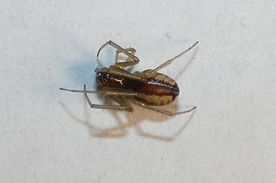 Araneae sp.