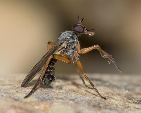 Empid spp? - Rhamphomyia - male